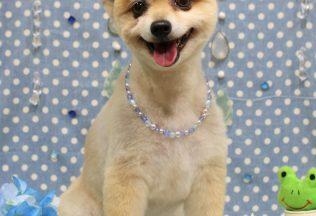 チワワ 柴犬 フレブルシャンプー チワワ ミックスカット
