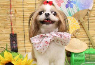 ミックス犬 マルチーズカット フレブル ダックスシャンプー