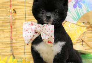 シーズー チワプー ポメラニアンカット 色んな犬種シャンプー