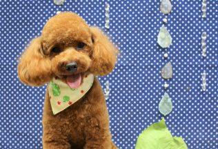 プードル ダックス MIX犬カット ダックスシャンプー