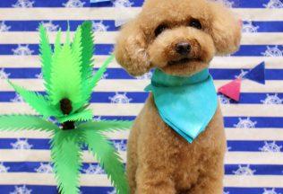 プードル ミックス犬カット フレブルシャンプー