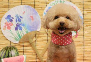 プードル ミックス犬カット ポメラニアンシャンプー