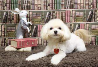 チワワ ミックス犬カット 色々な犬種のシャンプー
