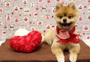 プードルモヒカン ダックススッキリ ポメラニアン柴犬 カット