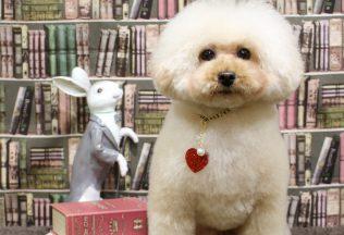 プードルテディベア ミックス犬カット チワワシャンプー