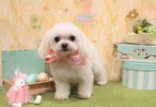 プードル チワワ ミックス犬 シーズーカット プードルシャンプー
