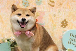 ヨーキー プードル チワックスカット 柴犬 ヨーキーシャンプー