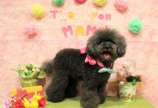パピヨンカット 色んな犬種のシャンプー