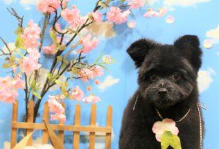 プードル ミックス犬 チワワカット 色んな犬種シャンプー