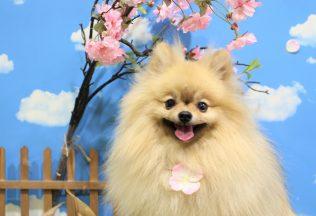 色んな犬種のカット パグシャンプー