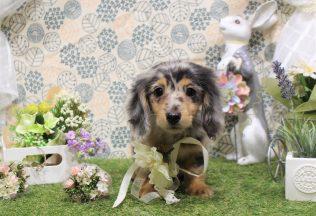 プードル ダックスカット 色んな犬種のシャンプー