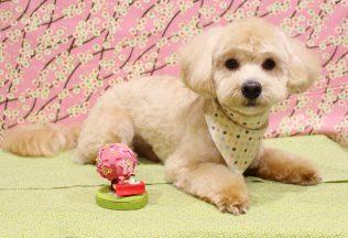 ピンシャーシャンプー プードル&ミックス犬カット