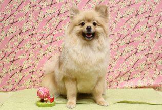 チワワ&ダックスシャンプー プードル&ミックス犬&ポメラニアンカット
